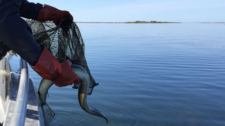 Foto: Havs- och vattenmyndigheten Ål utsläpp
