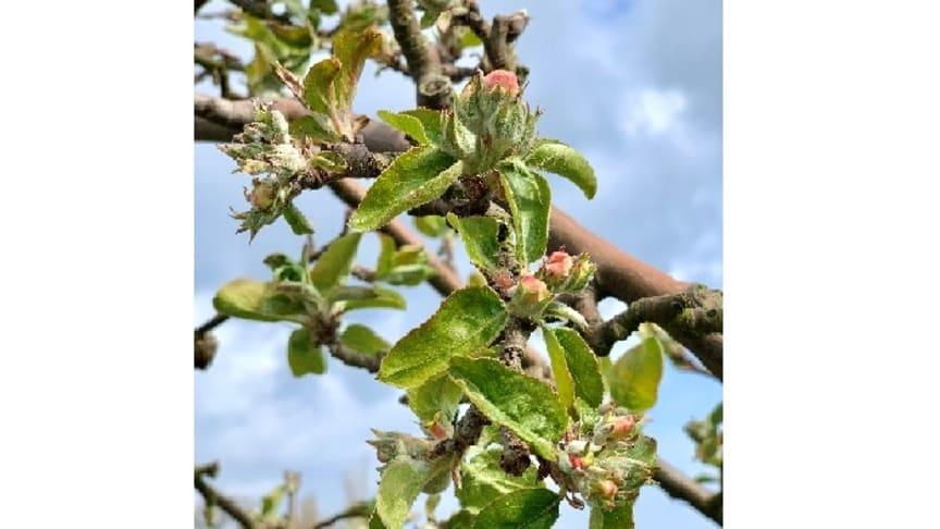 Äppelblomma av sorten Gravenstein