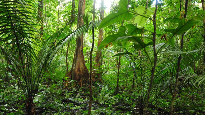 Palmer som är del av mer än 20 års kartläggning av palmer och växtplatser i Amazonas. Foto: Henrik Balslev.