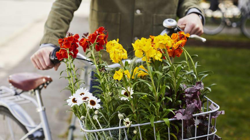 Vårflirtsortimenet är ett premiumsortiment av vårblommor som är perfekta att kombinera med penséer och lökväxter.  Foto: Lina Arvidsson