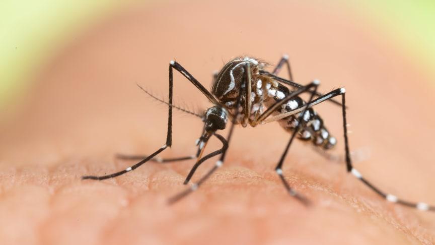 In Spanien haben sich erstmals drei Touristen mit dem Chikungunya-Virus infiziert. Überträger der in der Regel nicht tödlich, aber teilweise äußerst schmerzhaft verlaufenden Krankheit sind Tigermücken wie der Art Aedes albopictus.