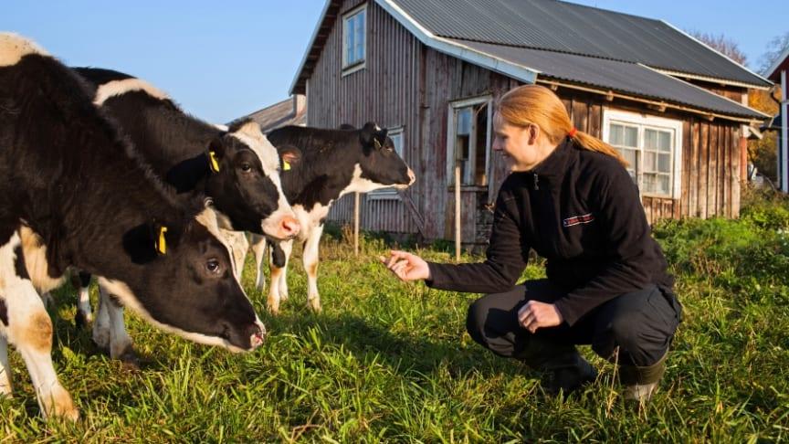 Tankmjölksscreening visar att salmonellaförekomsten är fortsatt låg i landet. Antikroppar mot salmonella påvisades i prov från fyra procent av besättningarna, men förekomsten varierar mycket mellan olika regioner. Foto: Daniel Silfver.