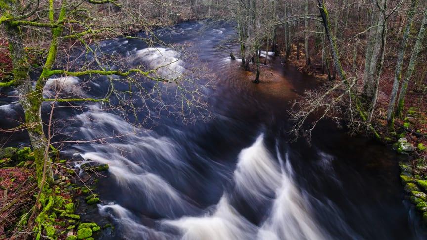 Fors och svämlövskog i Säveåns Natura 2000-område. Fotograf Mikael Svensson.