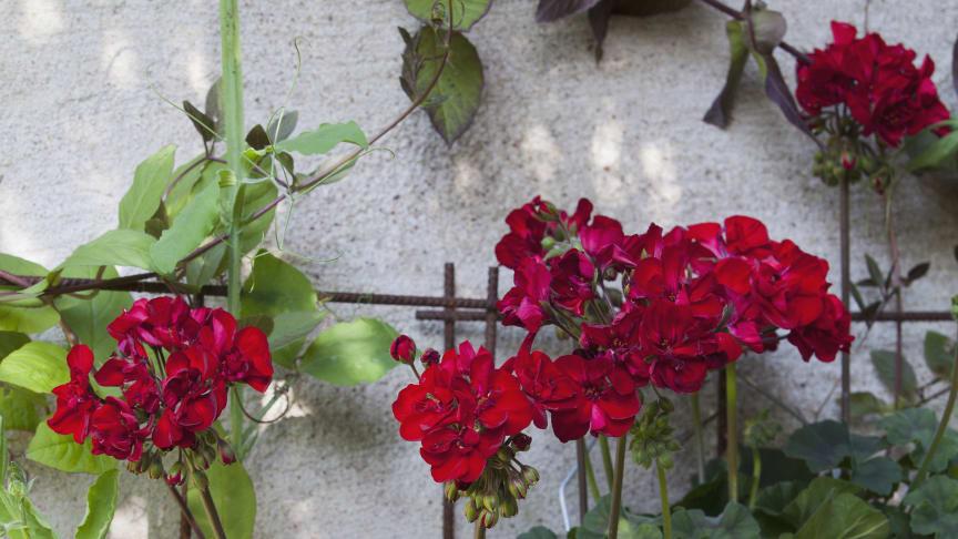 Årets Pelargon 2013: Pelargon 'Velvet Red', Pelargonium x hortorum Tango-serien 'Velvet Red'