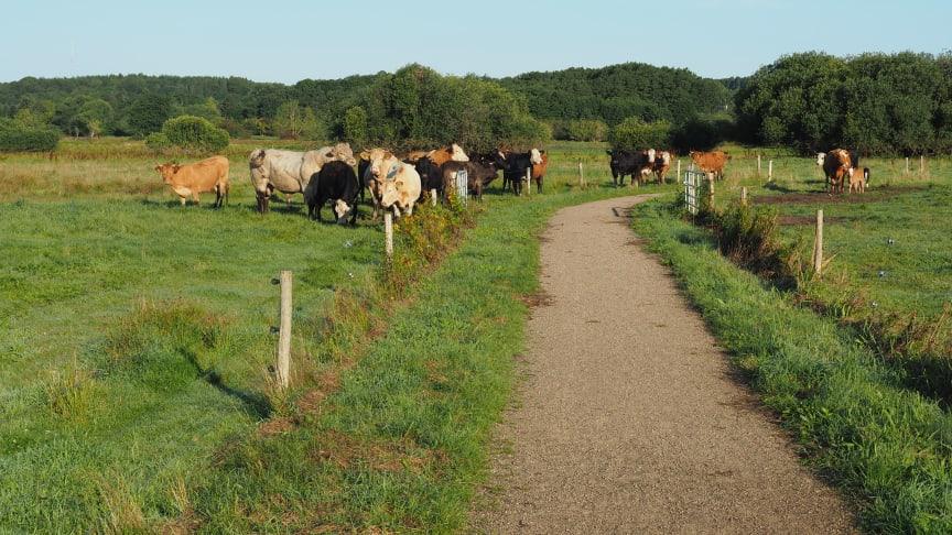 Køer ved Maglemosen
