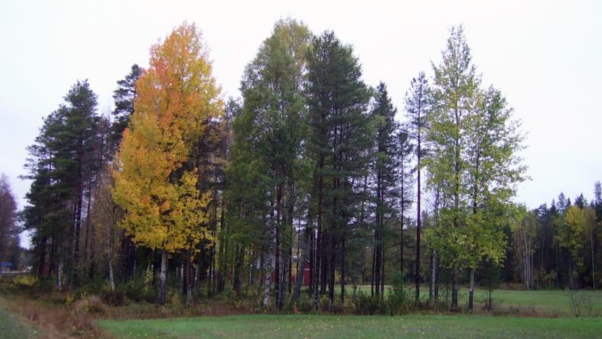 Aspar i höstskrud. Fotot ger en bra bild av den naturliga variation som finns i aspens respons till annalkande höst och vinter. Foto: Yvan Fracheboud