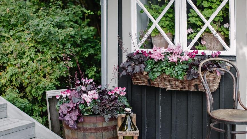 Cyklamen är en klassisk krukväxt som trivs alldeles ypperligt i planteringar utomhus.