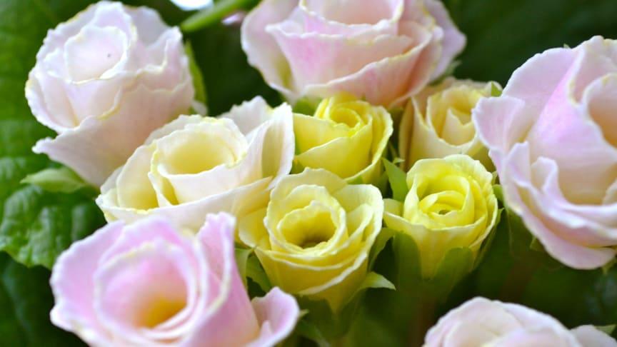 Primula-sorter för alla smaker och stilar