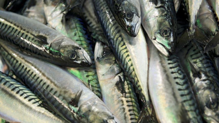 Tollsatsene på fryst makrell reduseres i Kina