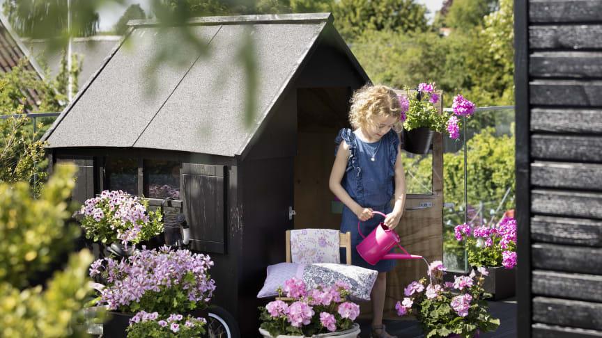 Pelargoner älskar ljus och värme och därför trivs de utmärkt i varma och soliga lägen. Foto: Pelargonium for Europe