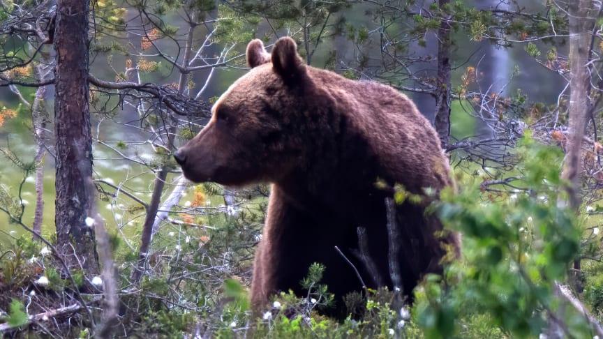 Munbakterier bevarade i björnars tandsten låter forskarna följa effekterna av människans antibiotikaanvändning. Foto: Mats Björklund
