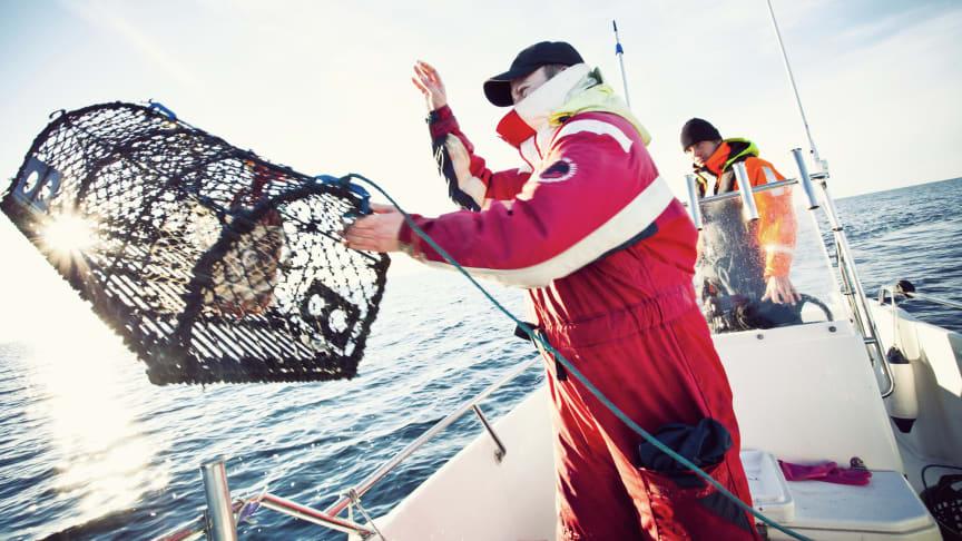 Premiär för hummerfisket 2020 21 september kl. 07.00. Fritidsfiskare får fiska fram till och med 30/11, yrkesfiskare fram till och med 31/12.  Foto: Maja Kristina Nylander