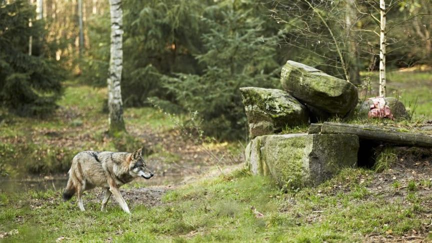 Wölfen ganz nah kommen kann man im Wildpark Schorfheide. Foto: TMB-Fotoarchiv/Michael Handelmann.