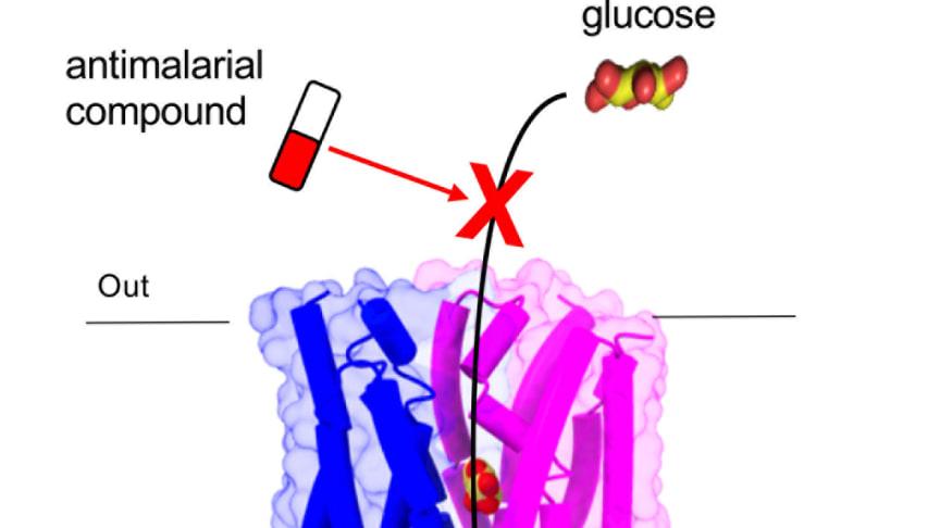 Det är genom sockertransportören PfHT1 som malariaparasiten tar upp socker. Om den blockeras stannar parasitens tillväxt.