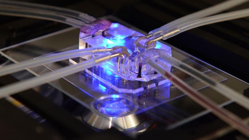 Forskarna har utvecklat en fysisk plattform med kanaler där vätska kan flyta mellan olika chip som funktionellt representerar mänskliga organ. Chipet på bilden härmar lungorna.