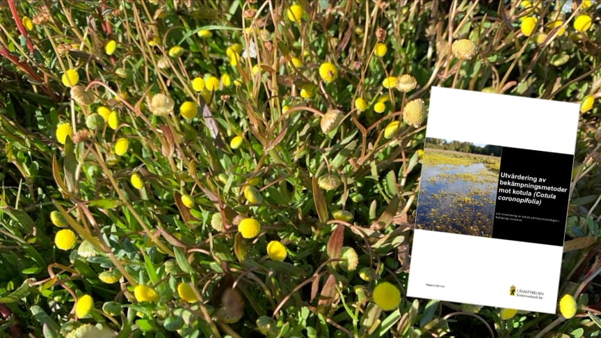 Callunas utvärdering av bekämpningsmetoder mot den invasiva växten kotula har samlats i en rapport som publicerades nyligen.