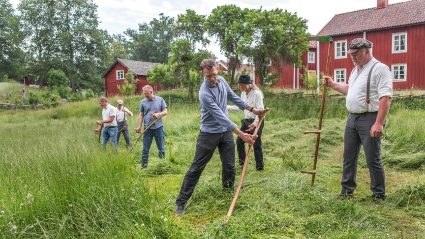 Den planerade invigningen blev en symbolisk invigning av kulturreservatet Stensjö by. Landshövdingen i Kalmar län, Peter Sandwall, provar sina färdigheter att slå med lie under överinseende av tillsyningsman Hans Nilsson. Foto: Frida Persson