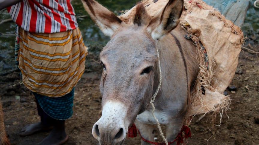 WTG-Dossier: Das Leid der Esel und wie bewussteres menschliches Handeln es lindern kann