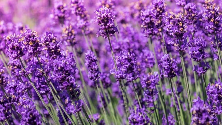 Sieht nicht nur schön aus, sondern beruhigt die Haut: Lavendel. Pattanasak Suksri   Adobe Stock: 121662200