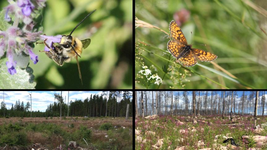 Långhornsbi och skogsnätfjäril, samt obränt (t.v.) respektive bränt (t.h.) hygge. Foto: Petter Andersson.