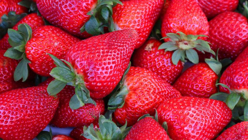 Bina pollinerar också jordgubbarna och ger större och sötare bär, och framförallt fler bär. Hur honungsskörden kommer se ut framöver i sommar kan vi inte spå, men lite regndans skulle inte skada!