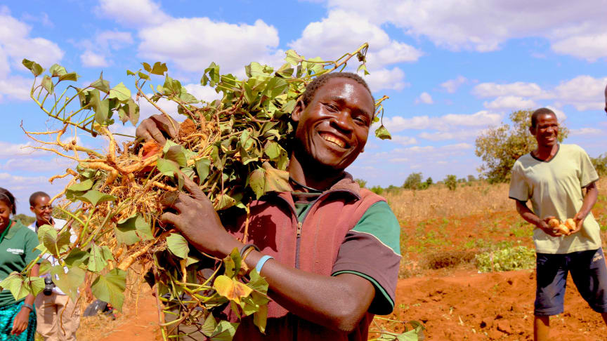 Nw varieties of sweet potato were developed for Africa with increased productivity and resistance to sweet potato virus disease.