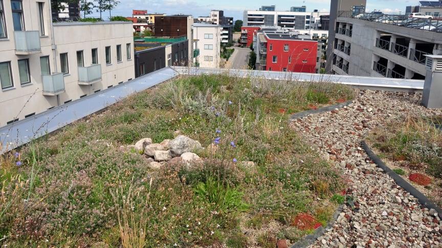 Vegetation på tak, s.k. gröna tak, är ett sätt att hantera dagvatten direkt där det faller, samtidigt som man kan få andra ekosystemtjänster såsom biologisk mångfald. Foto: Tobias Emilsson
