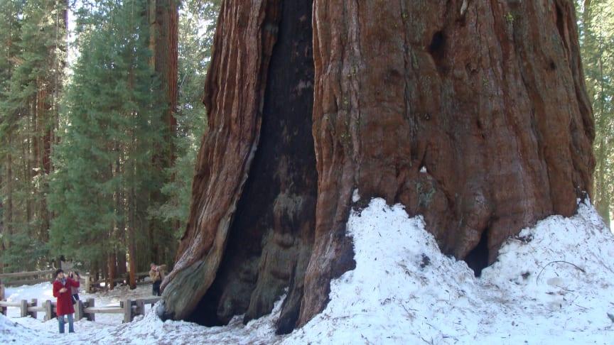 Verdens største nulevende træ hedder General Sherman og står i Sequoia nationalparken i Californien. Foto: Wikimedia Commons