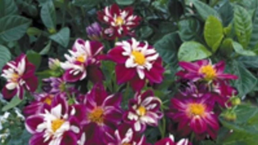 Månadens blomma - juni 2009