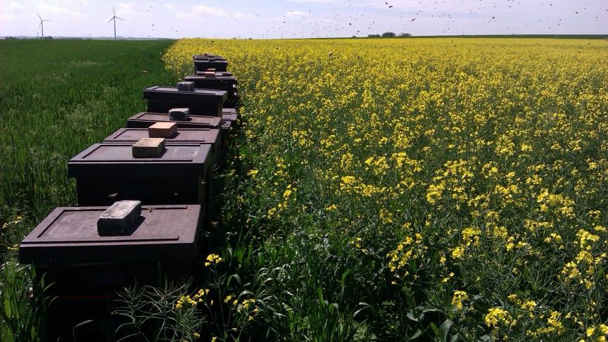Mer än 600 honungsbisamhällen sattes ut intill skånska höstrapsfält för att studera insektspollineringens betydelse för skörden. Foto: Sandra Lindström