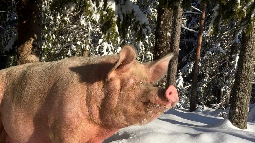 På økologiske Søndre Veholt Gård i Skien bor grisene ute 365 dager i året, med tilgang til lune hytter. Foto: Søndre Veholt Gård