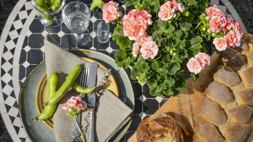Årets pelargon 2021 heter 'Astrid' och sorten levererar blomsterprakt både ute och inne. Foto: Emilia Ahlgren