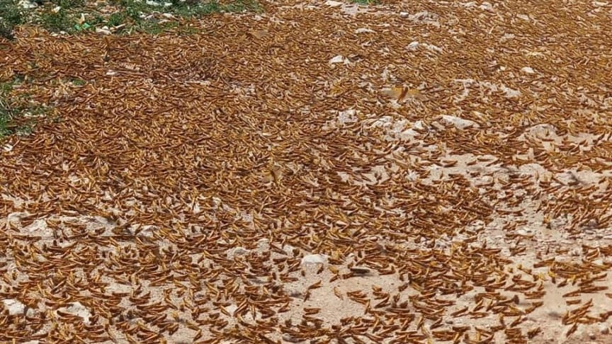 Gräshoppor äter under en dag lika mycket mat som 90 miljoner människor