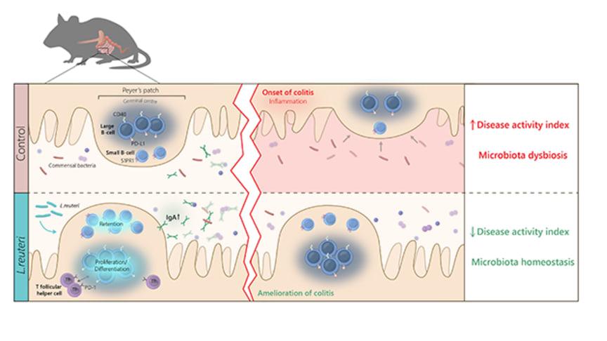 Probiotiska bakterier ökar tarmens produktion av antikroppar