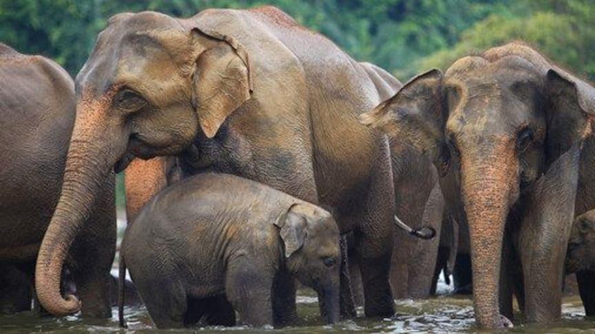 Family of Asian Elephants ©STAE