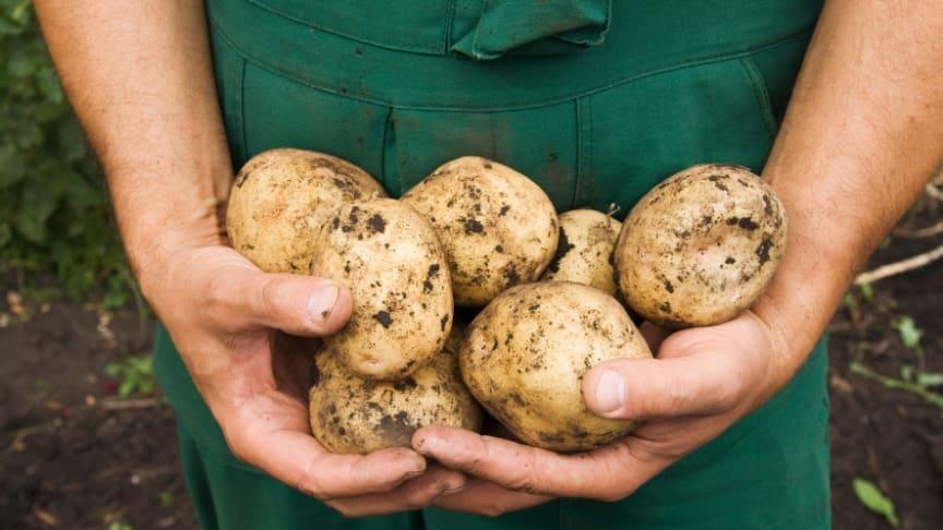 Matsvinn och förluster på gården beror på faktorer som jordbruksföretagaren inte alltid styr över; väder, växtskadegörare, sjukdomar, svängningar i efterfrågan och kvalitetskrav från senare led i livsmedelskedjan. Foto: Shutterstock