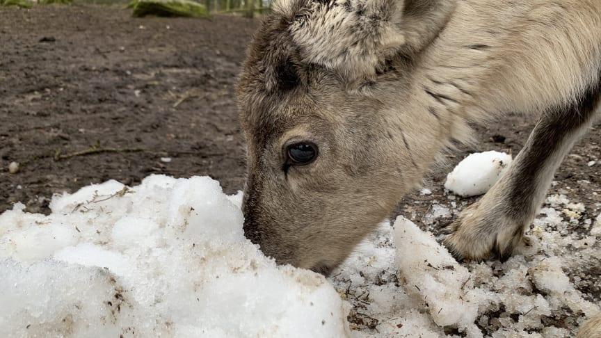 En av fjolårets renkalvar möter snö för första gången.
