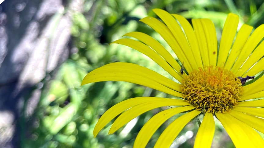 Gul blomma och maskros i frö