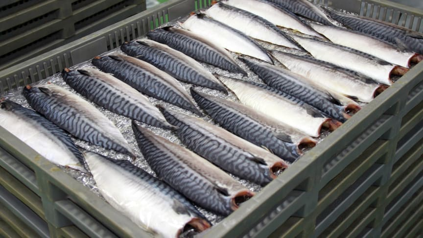 All time high price for frozen mackerel this autumn. Photo: Norwegian Seafood Council