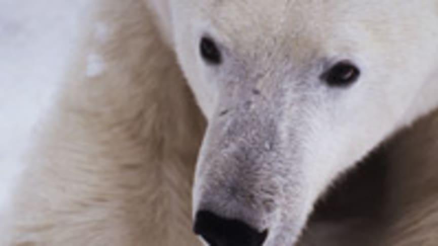 Canon hjälper WWF att märka och spåra isbjörnar i Arktis – forskare och allmänhet kan studera isbjörnarnas vandring via ny webbsajt