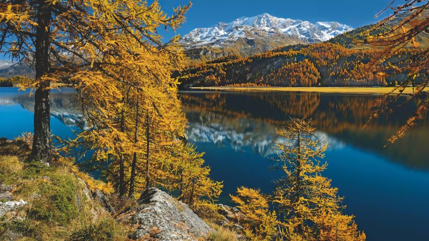 Herbststimmung im Kanton Graubünden mit goldenen Lärchen am linken Ufer des Silvaplanersees © Schweiz Tourismus