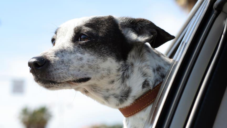 Så sitter djuret säkert i bilen