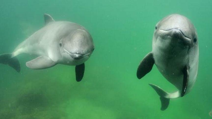 Tumlarna är utsatta. Det finns bara runt 500 individer kvar i Östersjön.