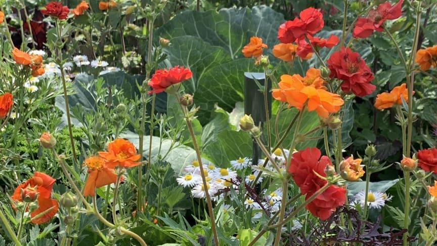 Att samplantera grönsaker, kryddväxter, sommarblommor och perenner är både vackert och gott!