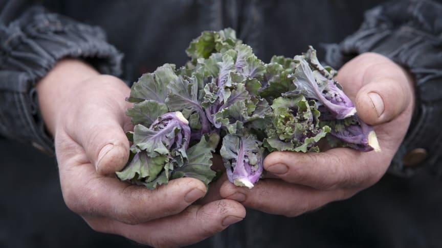 Flower sprouts i händerna på den svenska odlaren Mattias Hansson