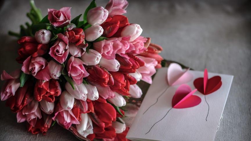 Att ge bort svenska tulpaner är ett sätt att visa kärlek och omtanke. Foto: Åsa Myrberg