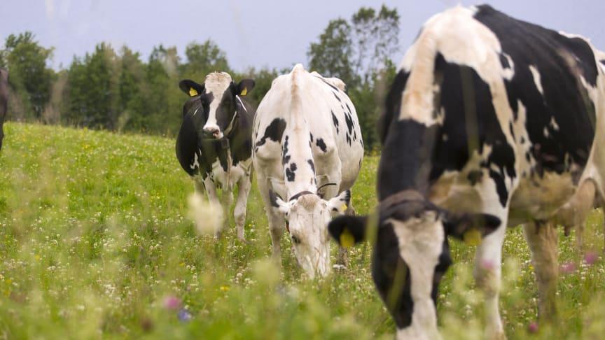 Mjölkproduktion där kor får beta på åkrar med varierade landskap gynnar många växter och djur. Det framgår av en ny rapport från Norrmejerier. Foto: Jan Lindmark.