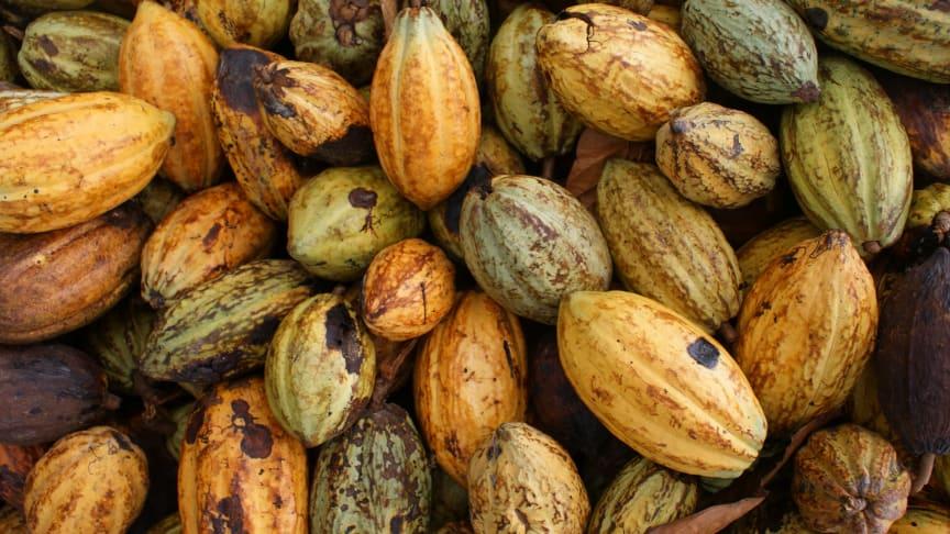 Prisraset på kakao från Elfenbenskusten riskerar att försämra familjeekonomin för landets kakaoodlare. Foto: Marie-Amélie Ormières