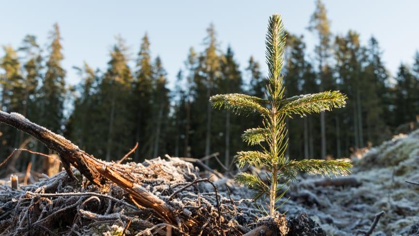 Nyplanterad gran. Foto: kn1, iStock