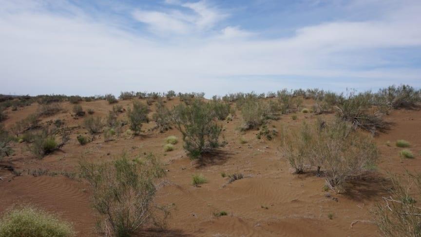 Ökenstäppen i södra Gurbantunggutöknen, där mindre än 30 % är vegetationstäckt. En av de få växter som kan växa i sandjordarna är Haloxylon ammodendron, en utrotningshotad buske. Foto: Hong-Xiang Zhang, Xinjiang Kinesiska vetenskapsakademin